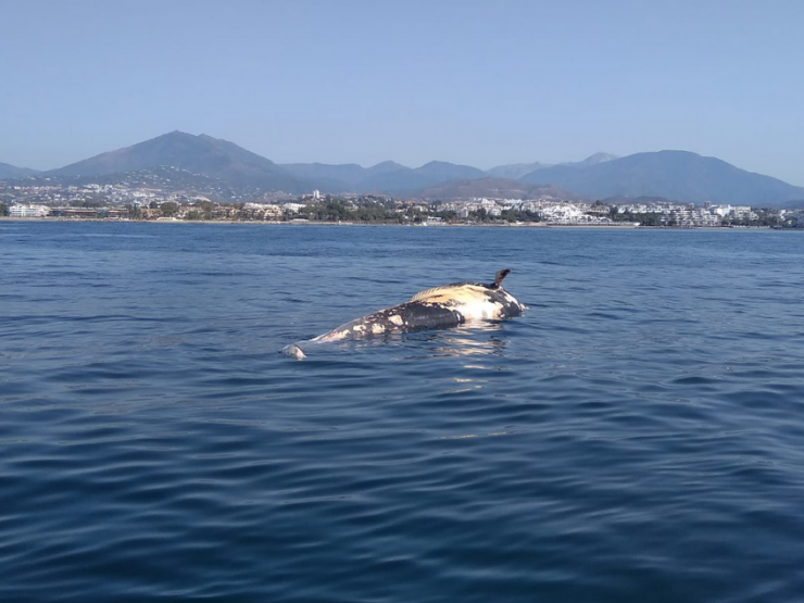 MARBELLA – Dead whale in the waters of Marbella